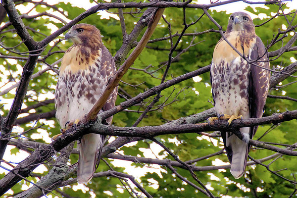 Hawks at Roselle Golf Club