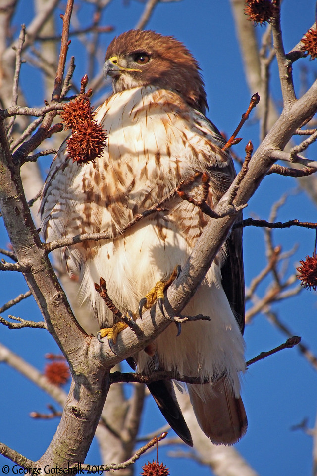 Red Shouldered Hawk at College Creek on the Colonial Parkway