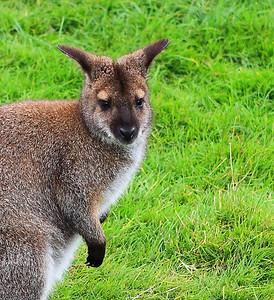 A Kangroo in Hollland...