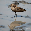 Hammerkop in Reflection