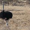 Nubian Ostrich Pair