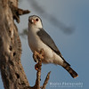 Smallest Falcon in Africa