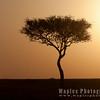Acacia at Dawn