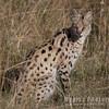 Serval, an African Wildcat