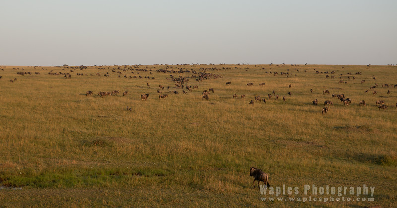 Largest Terrestrial Mammal Migration on Earth