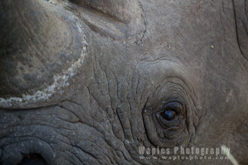 Black Rhinoceros Eye