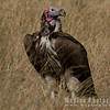 Huge Lappet-faced Vulture