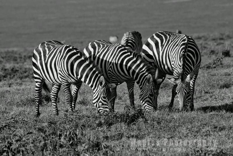 Plain, Common, Burchell's Zebra