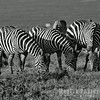 Plain, Common, Burchell's Zebra