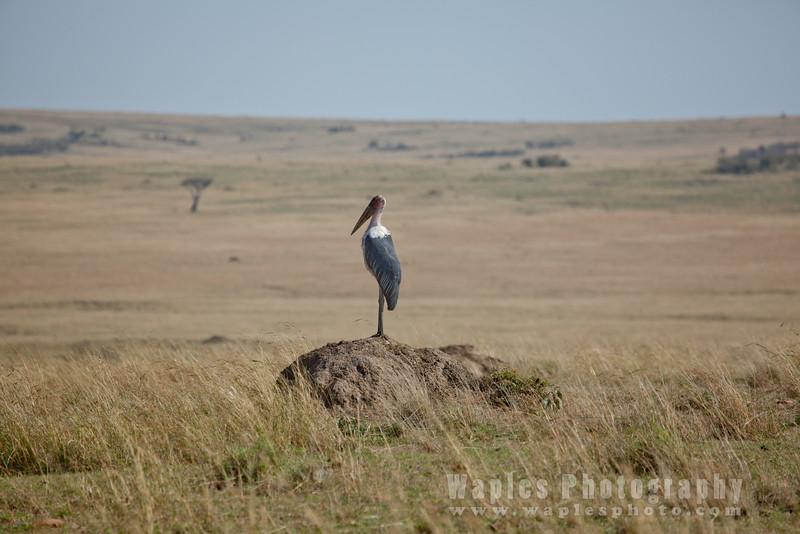 Marabou Stork on Mound