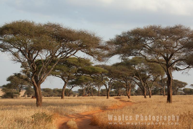 Elephant and Acacias, Tarangire NP