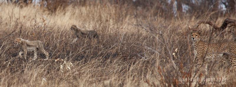Cheetah! On the Hunt!