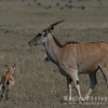 Giant Eland with calf