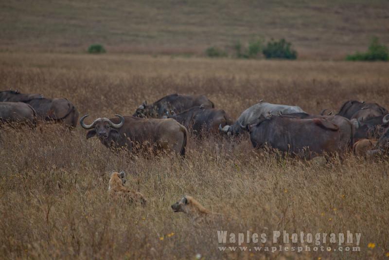 Hyenas Harassing Cape Buffalo
