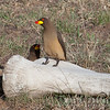 Two Yellow-billed Oxpeckers