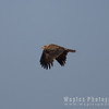 Downstroke, Tawny Eagle (Aquila rapax)