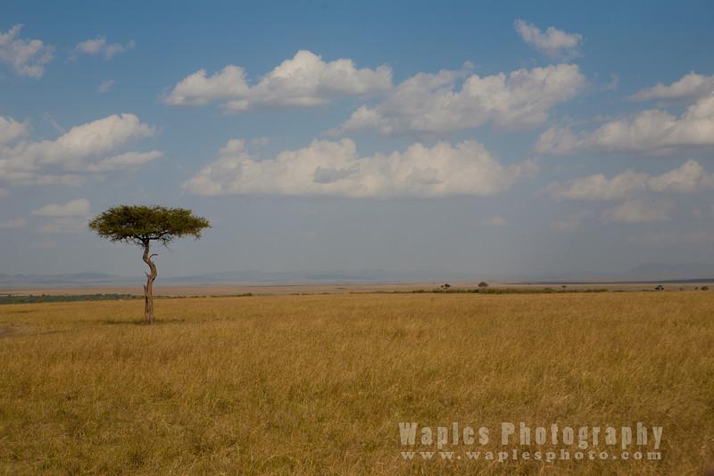 Acacia and Sky