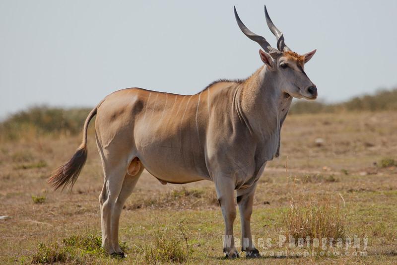 Giant Eland, largest species of antelope