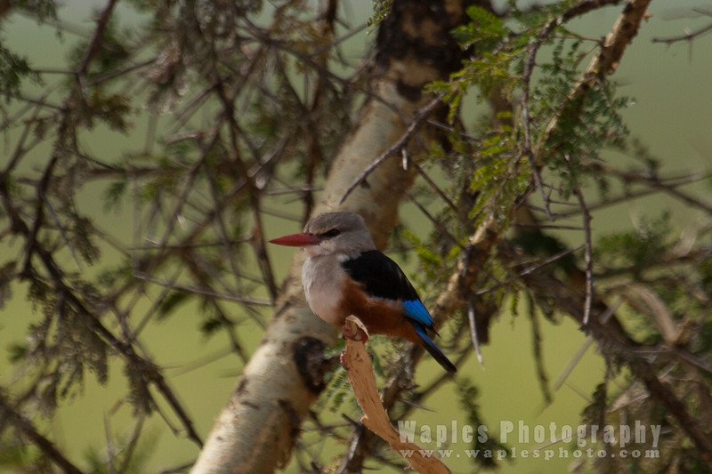 Gey-headed Kingfisher
