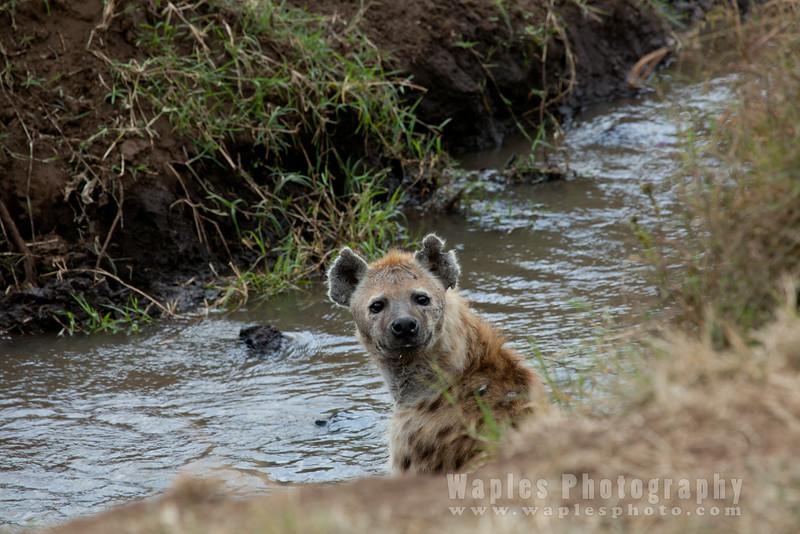 Hyena at a Stream