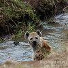 Hyena at a Stream
