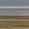 Flamingos in Ngorongoro Crater
