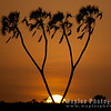 Sunrise at Samburu, Doum Palm Tree