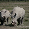 Rhino with sub-adult