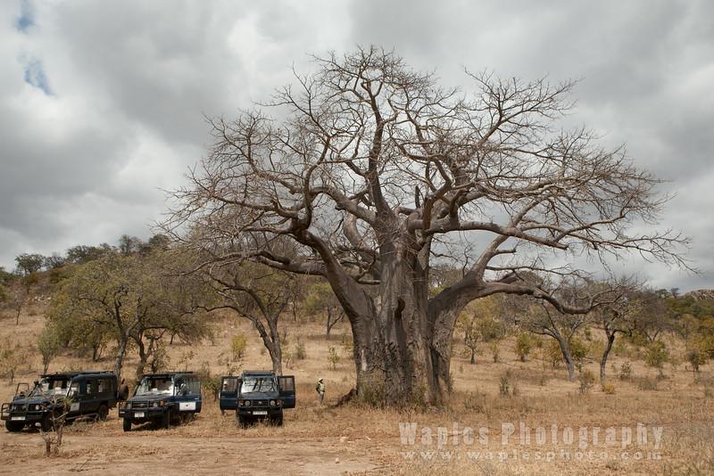 Massive Baobab Tree