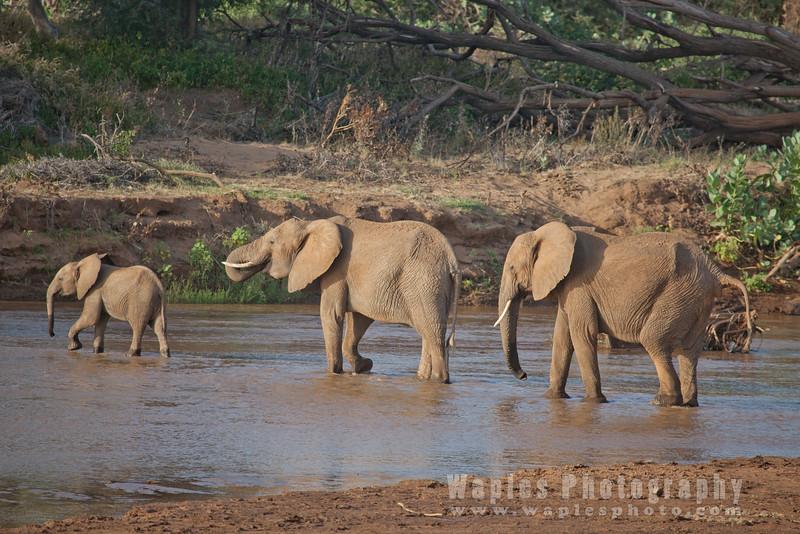 Drinking in the Ewaso Nyiro River
