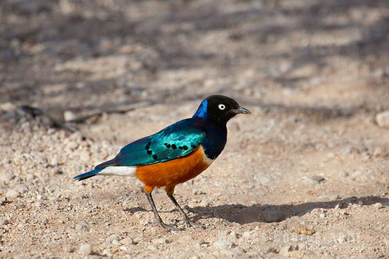 A Superb Starling