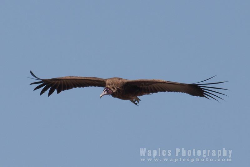 In flight, Hooded Vulture