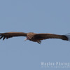 In flight, Hooded Vulture