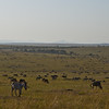 Zebra and Wildebeest Everywhere