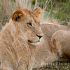 Sub-adult Male Lion