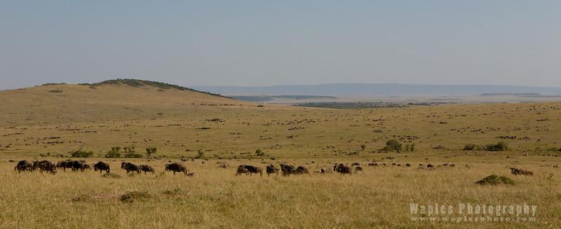 Wildebeest Everywhere