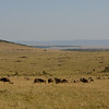 Wildebeest Everywhere