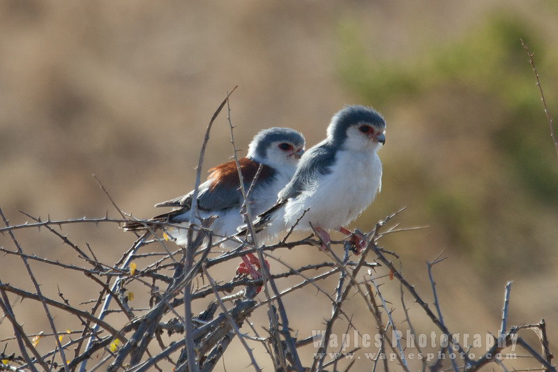 Female and Male Pygmy Falcons