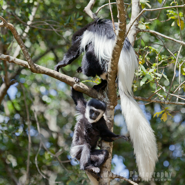 Colobus with Young