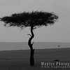 Acacia in B&W