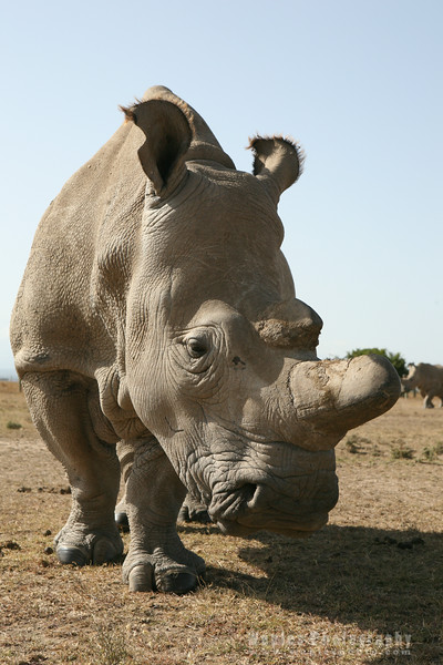 White Rhinoceros Close-up