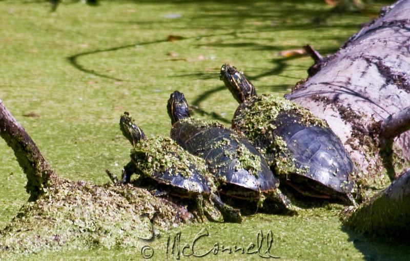 Painted Turtles at Lee Simmon's Wildlife Safari