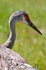 Sandhills Crane at Lee Simmon's Wildlife Safari
