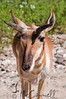 Pronghorn Antelope at Lee Simmon's Wildlife Safari
