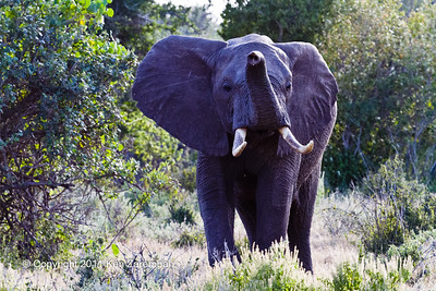 Huge set of tusks on this old male Elephant