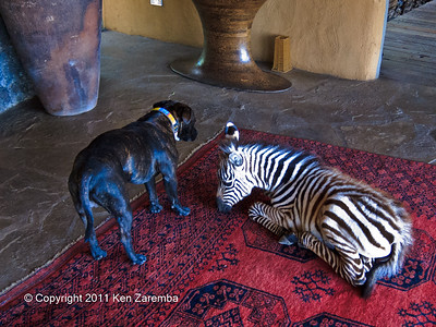Zoe, orphaned baby Common Zebra at Ol Donyo Wuas