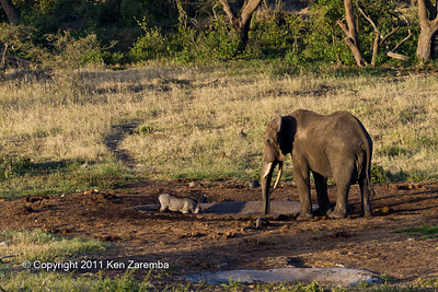 "Warthog & an Elephant at the watering hole near the ""Log Jam"" at Ol Donyo Wuas"