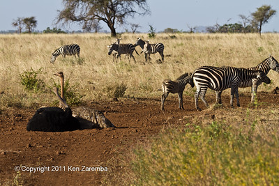 Somali Ostrich & Common Zebra