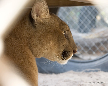 Zema - Cougar at Back to Nature Wildlife Center