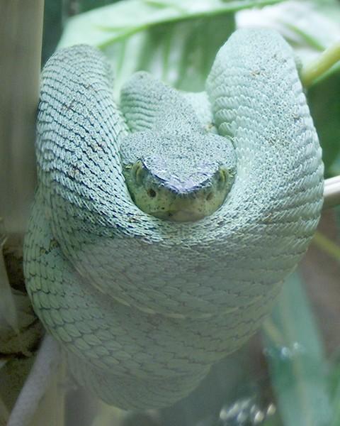 Green Viper Snake